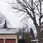 Stieleiche über einem Hamburger Hausdach -nach der Einkürzung